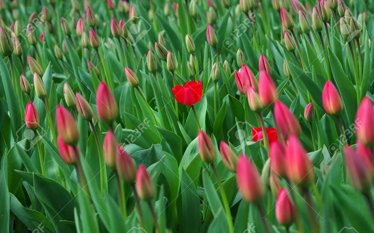 The first tulip in bloom. red tulips blooming in the garden. field of red tulips. - 169620209
