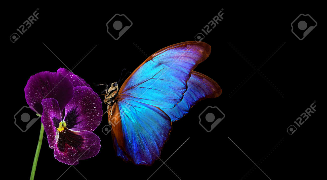 bright blue tropical morpho butterfly on pansy flower. colorful butterfly on violet - 169620211
