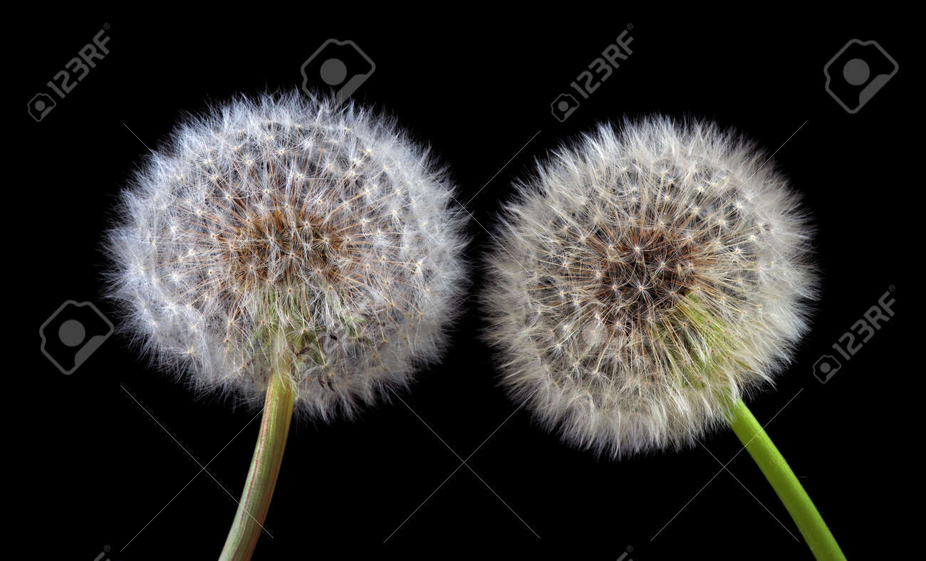 two white fluffy dandelions close up isolated on black - 169620212