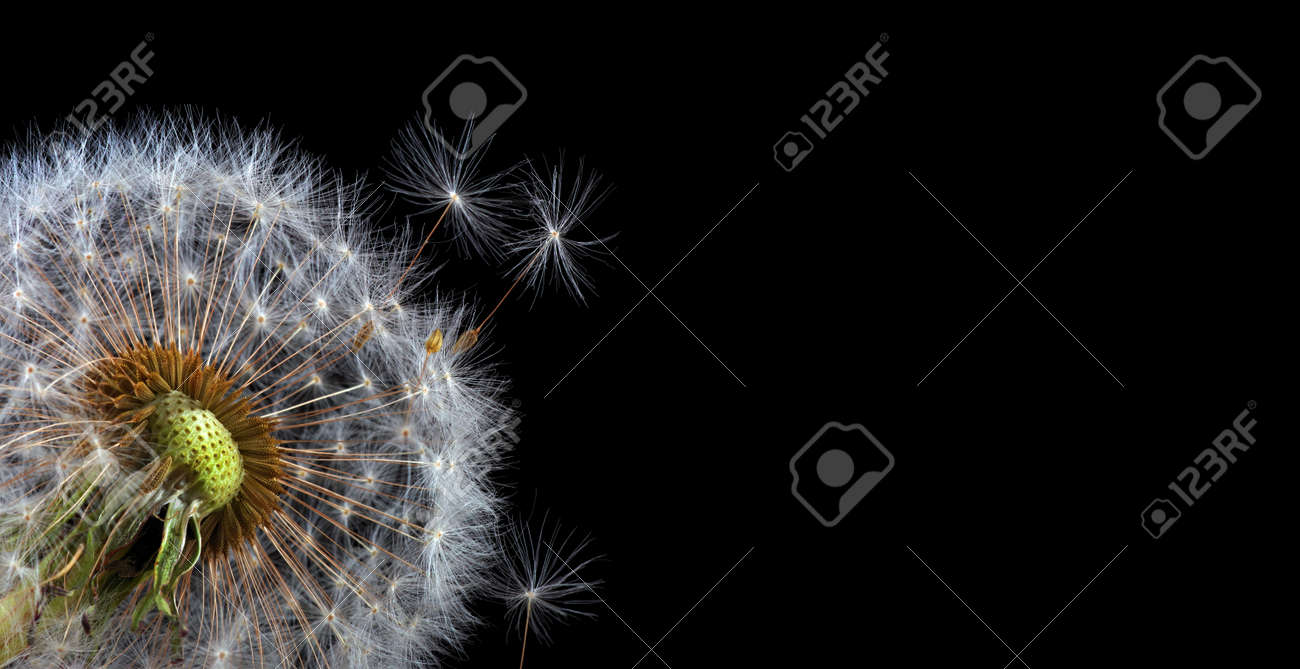 two white fluffy dandelions close up isolated on black - 169620216
