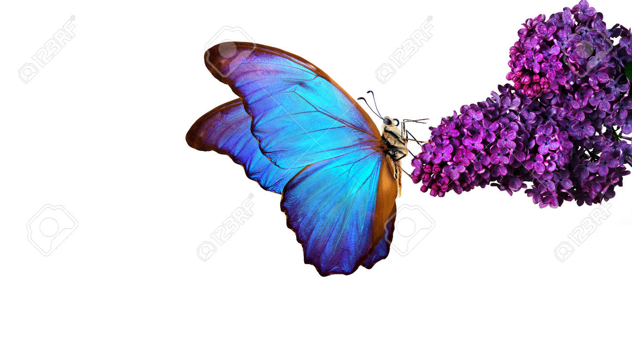 Beautiful blue morpho butterfly on a flower on a white background. lilac flower in water drops isolated on white. lilac and butterfly. - 169620223