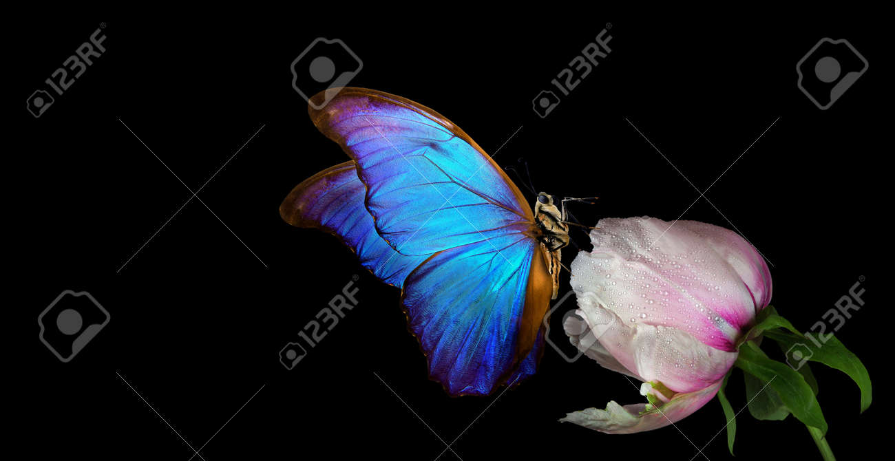Beautiful blue morpho butterfly on a flower on a black background. copy spaces. white peony bud and butterfly - 169620224