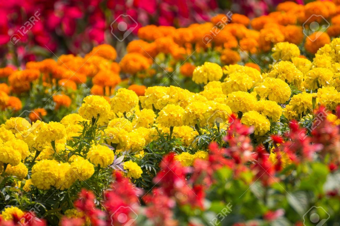 Marigold in beautiful flower garden background stock photo picture marigold in beautiful flower garden background stock photo 25477154 izmirmasajfo