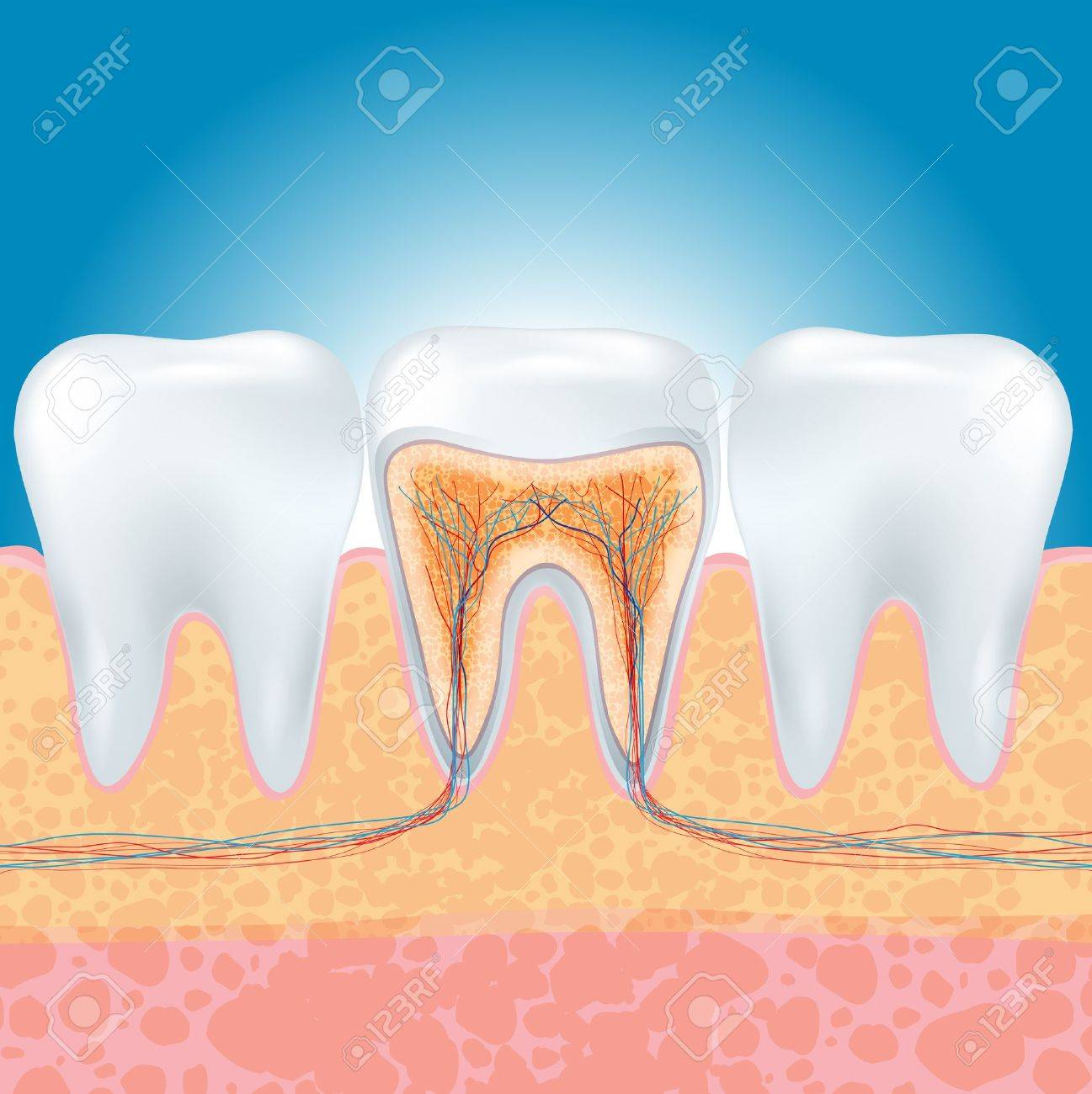illustration of tooth section. Stock Vector - 20732075