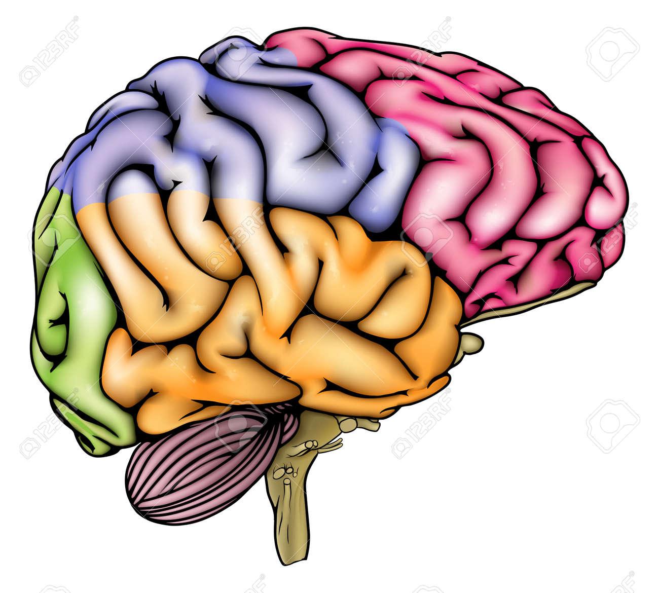 Una Ilustración O Diagrama De La Anatomía De Un Cerebro Humano ...