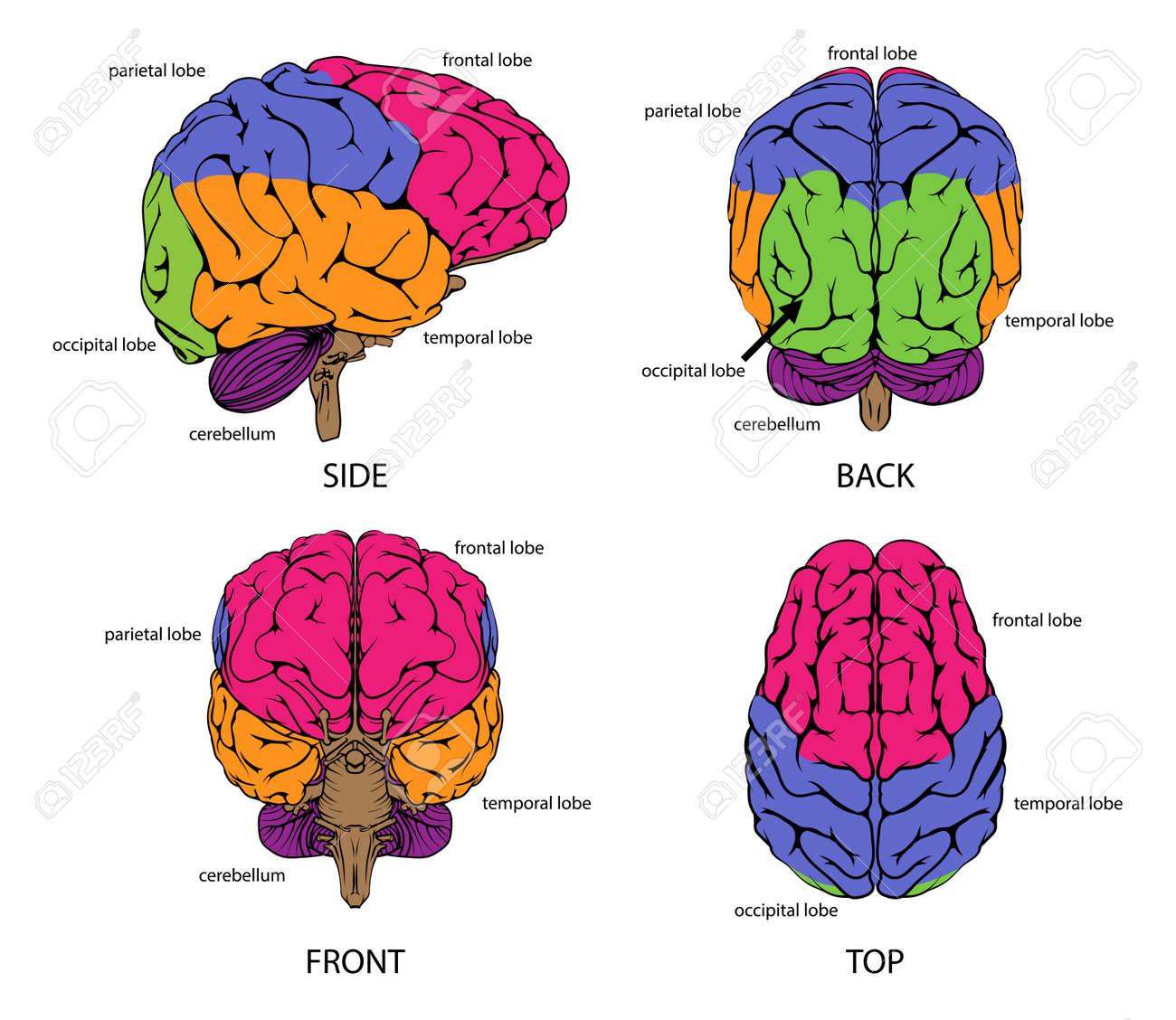 Brain Diagram No Labels Color - Application Wiring Diagram •