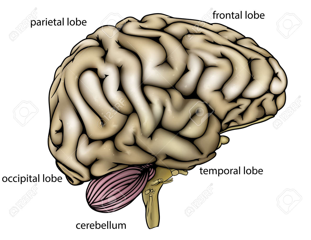 An illustration or anatomy diagram of an anatomically correct an illustration or anatomy diagram of an anatomically correct human brain from the side with different ccuart Images