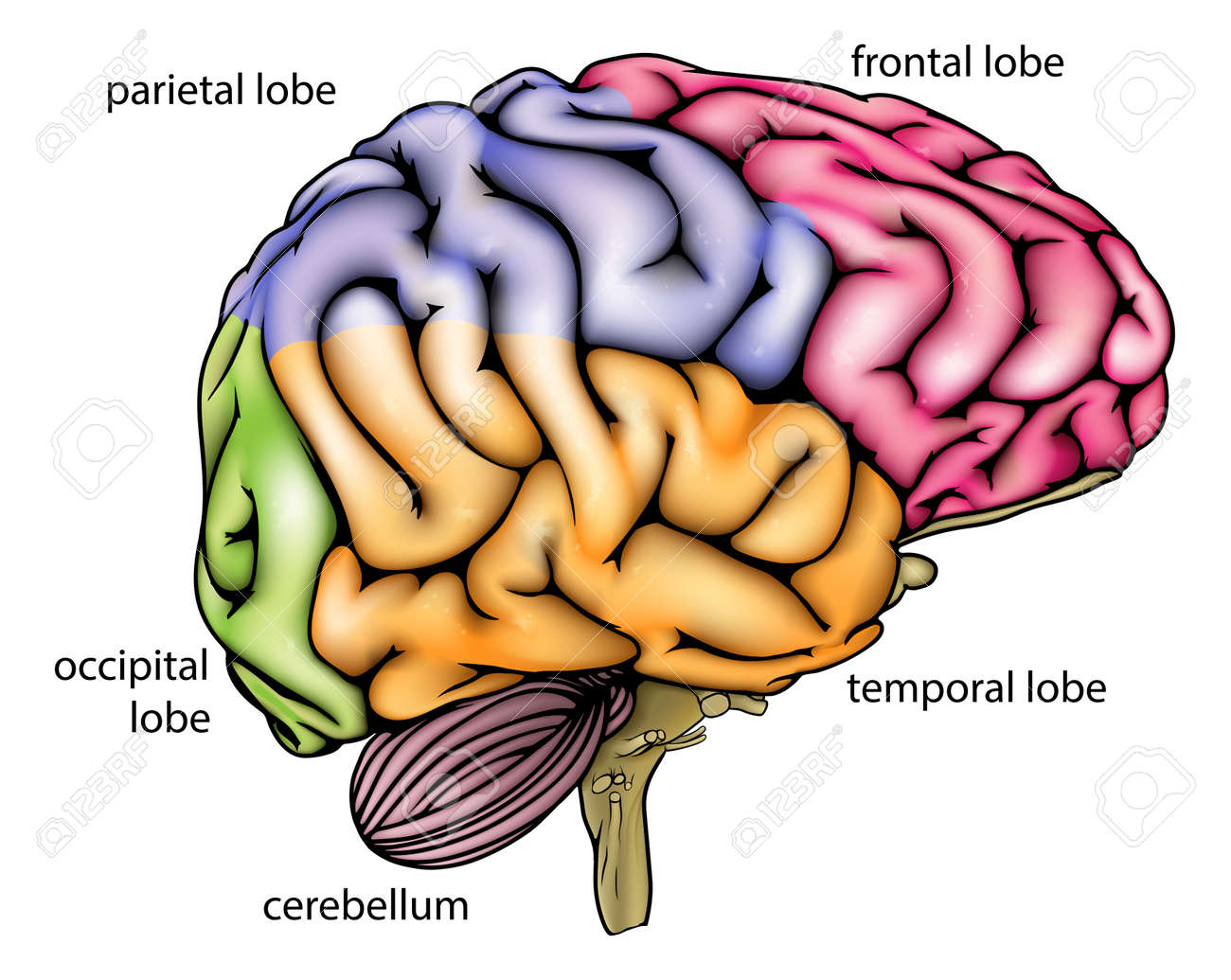 Brain Anatomy Diagram With Sectioned In Different Colours And ...