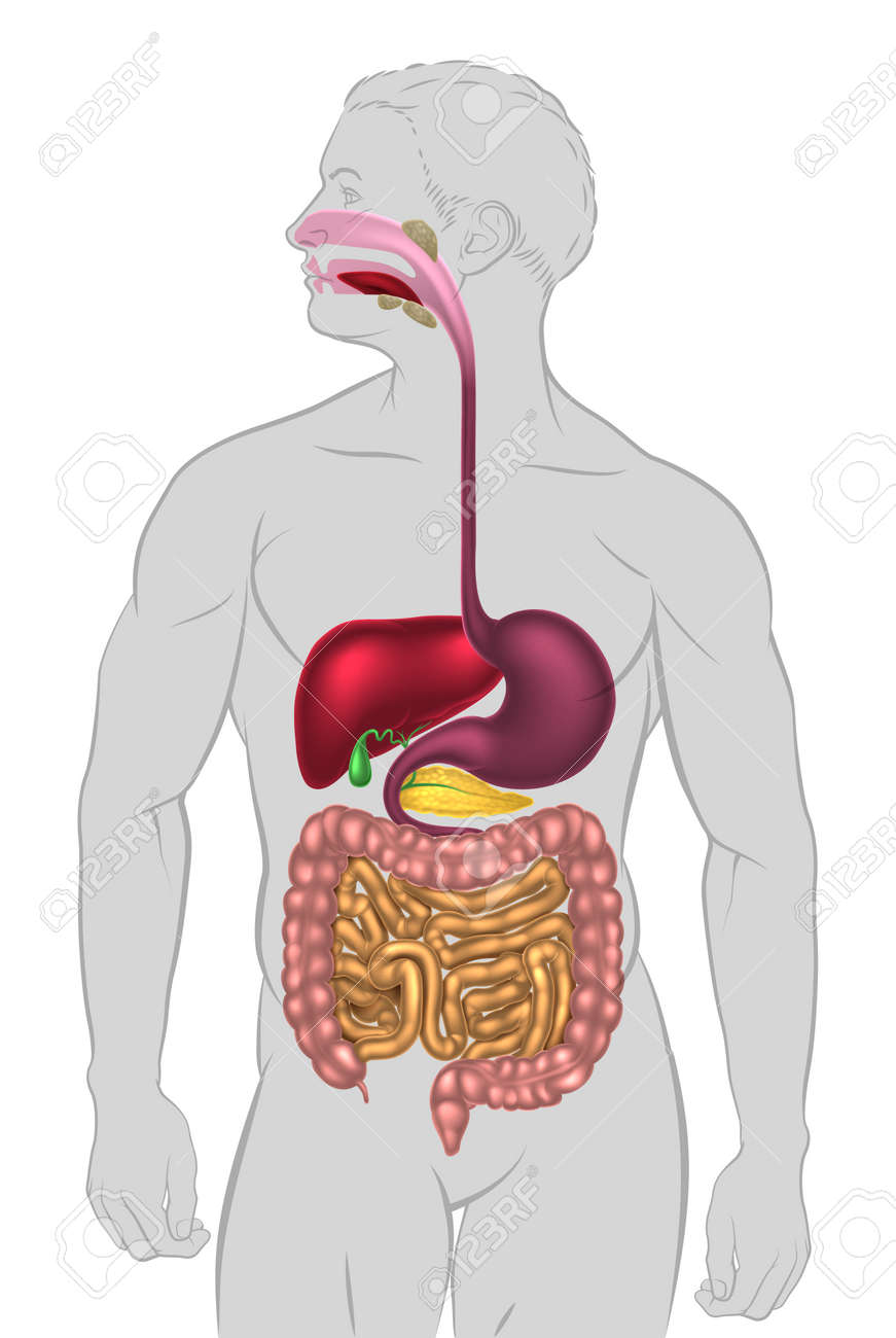 Una Ilustración Del Sistema Digestivo Humano, Tracto Digestivo O ...