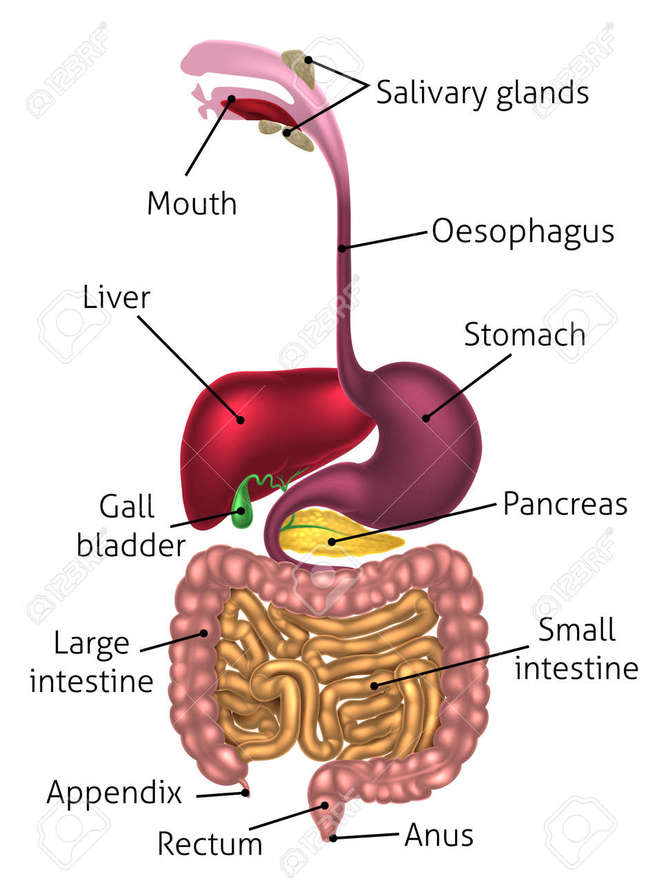 Human digestive system, digestive tract or alimentary canal including