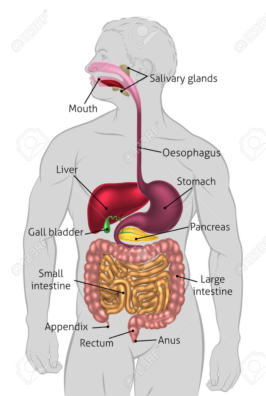 The human digestive system, digestive tract or alimentary canal with labels. Labelled with UK spellings and labels like those in the GCSE syllabus - 54229205