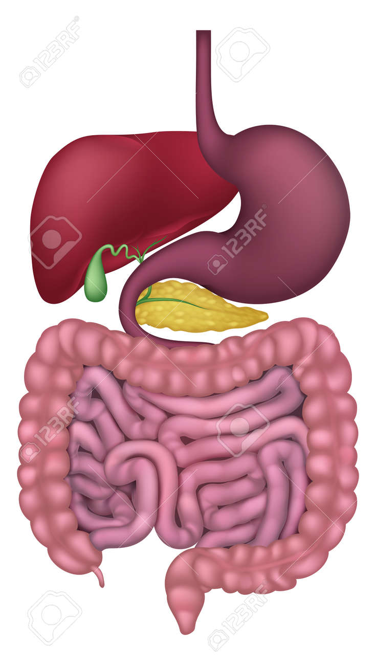 Medical Anatomy Illustration Of Human Gastrointestinal Digestive