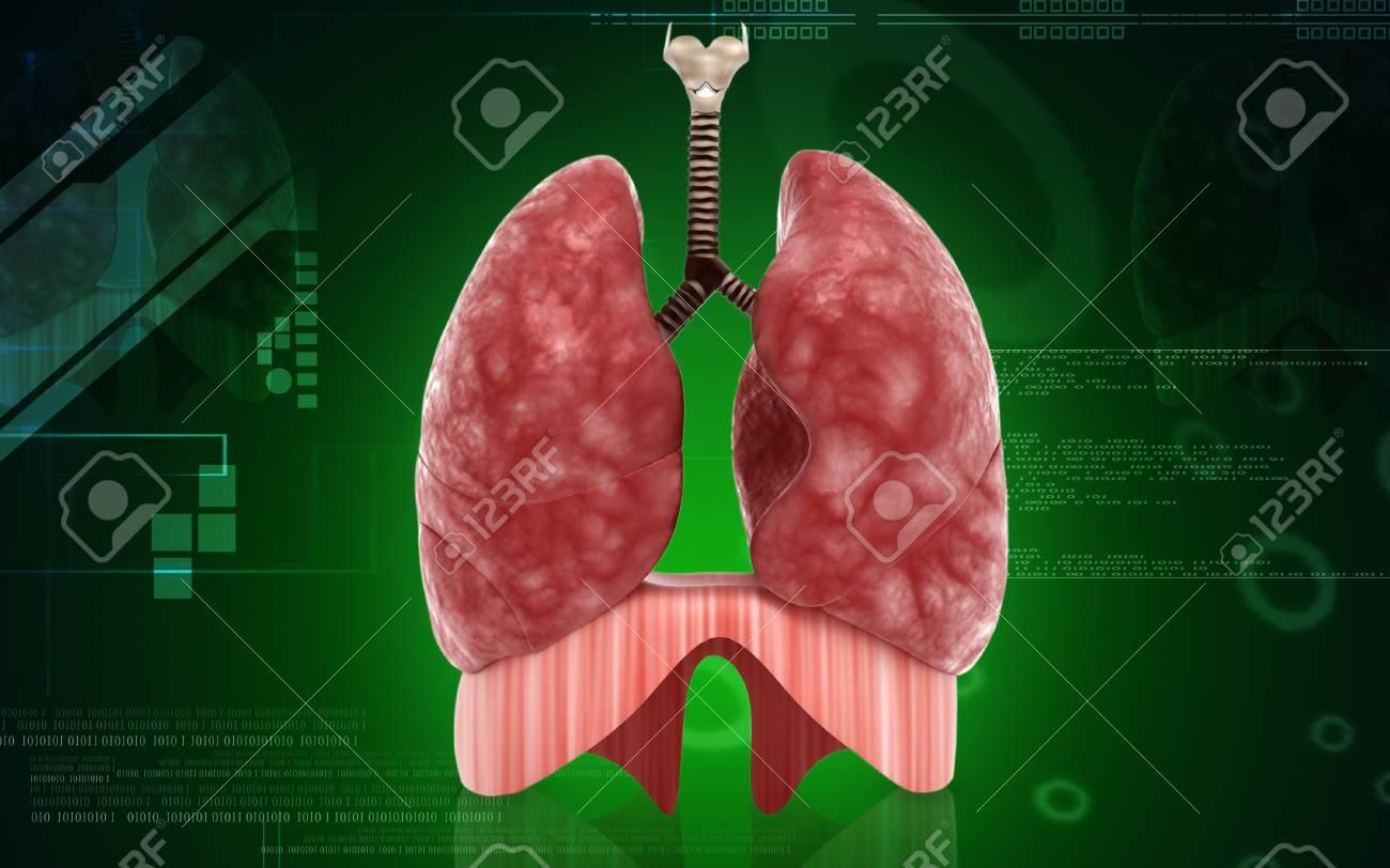 Moderno Pulmones Humanos Viñeta - Imágenes de Anatomía Humana ...
