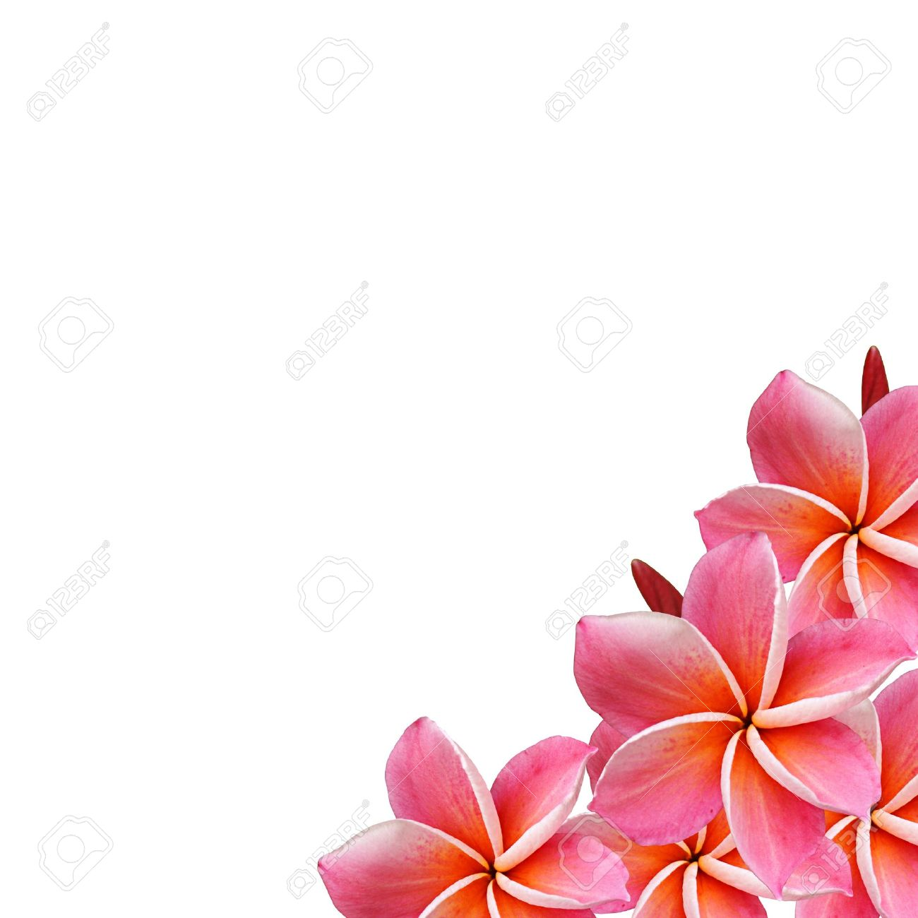 Pink hawaiian flower design 2018 images pictures pink tropical beautiful frangipani flowers pink hawaiian flower design izmirmasajfo