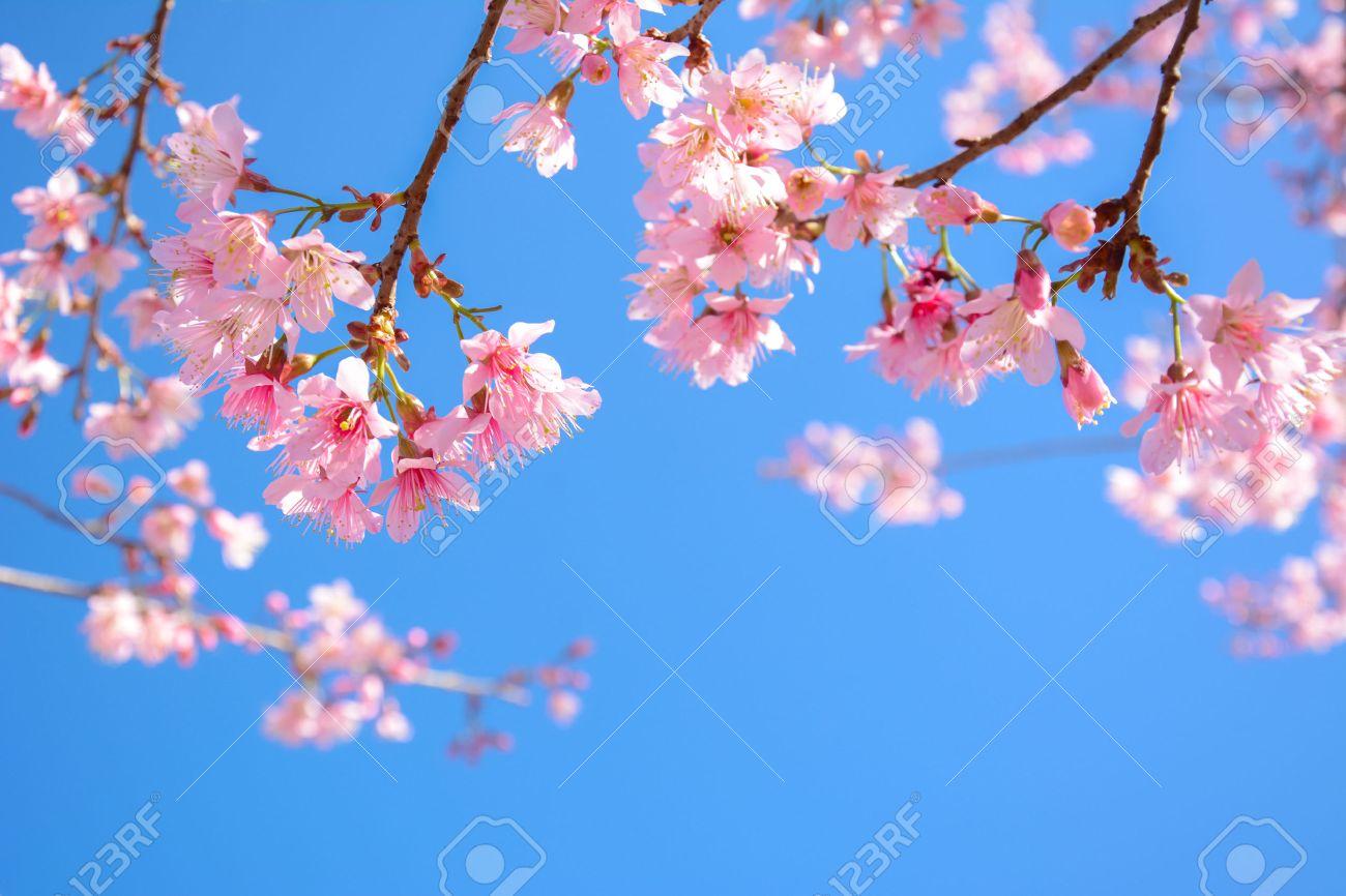 Beautiful Pink Sakura Flower Blooming On Blue Sky Background.. Stock ...