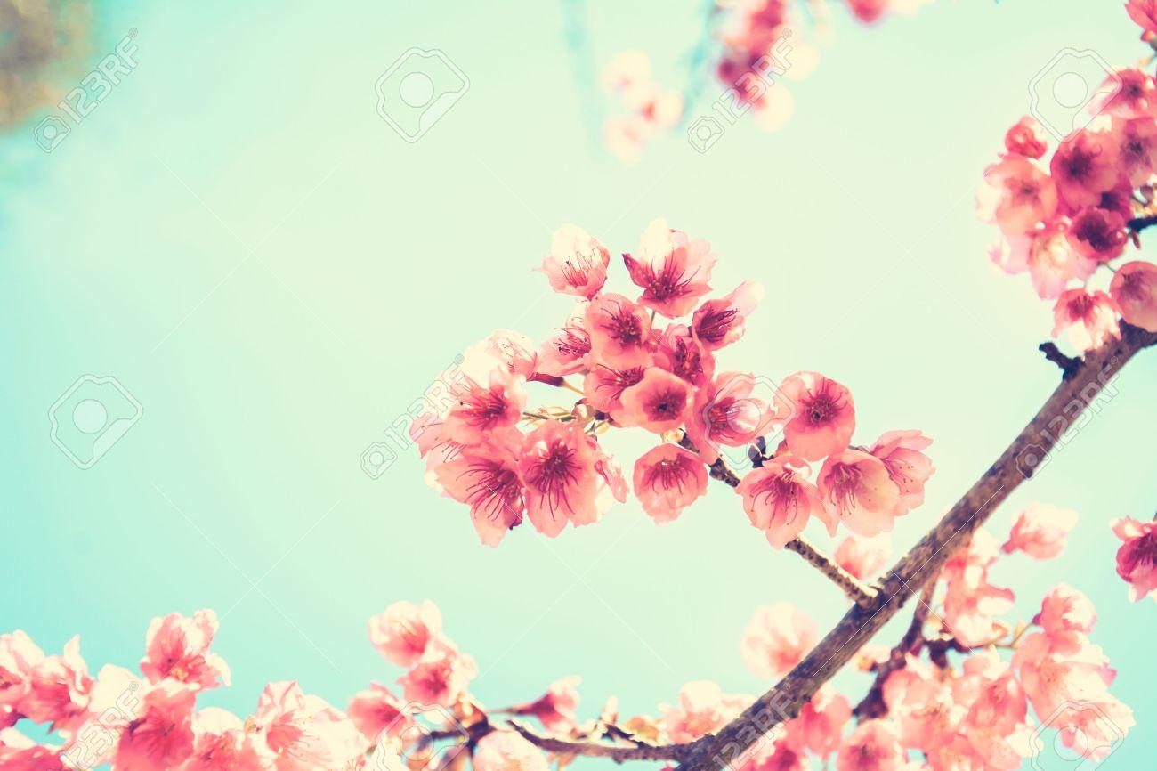 Pink sakura flower blooming vintage style color effect with pink sakura flower blooming vintage style color effect with soft focus stock photo 37875818 dhlflorist Images