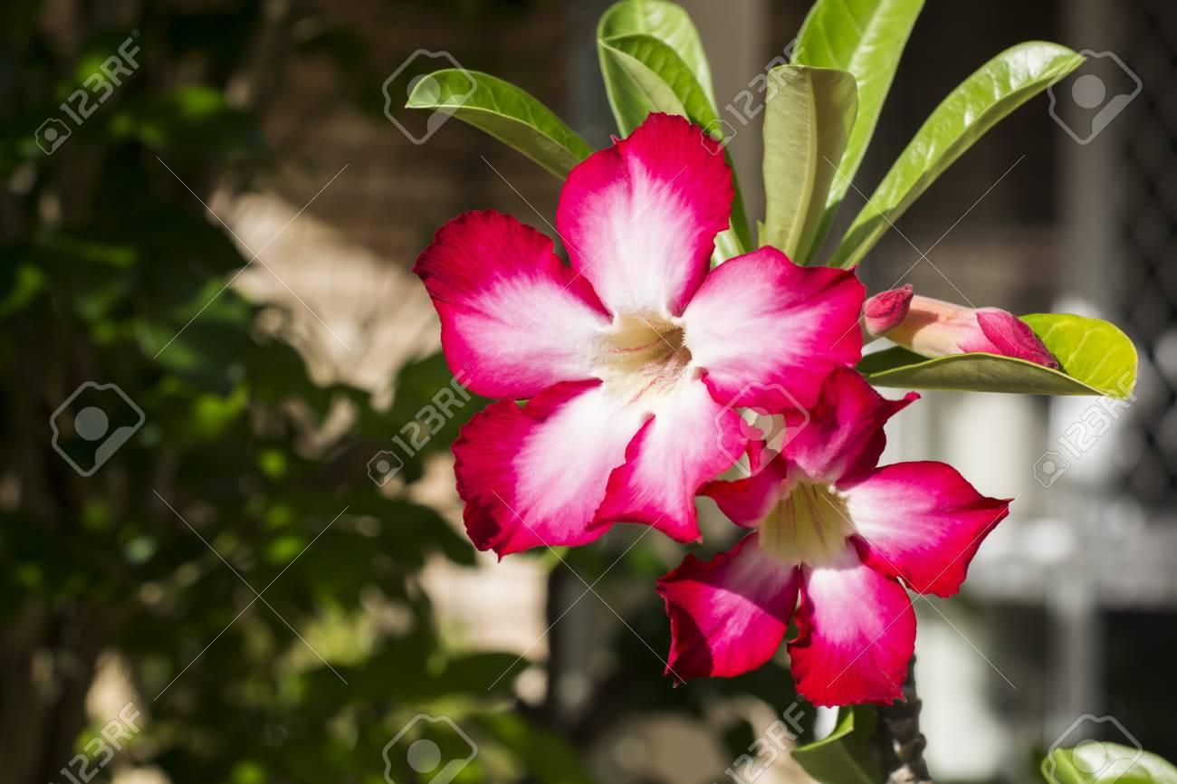 White Desert Rose With Hot Pink Around Azalea Flowers Adenium