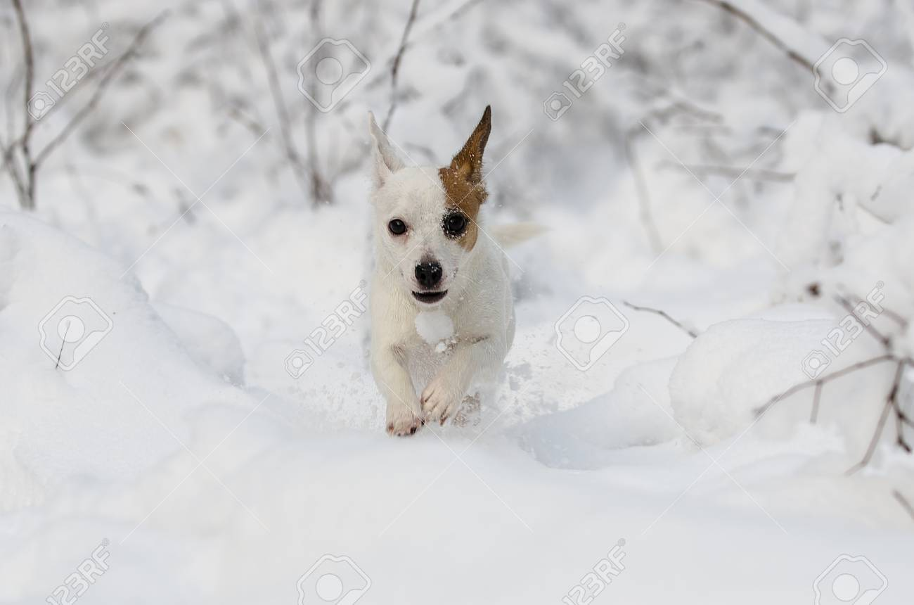 Jack Russell terrier running in the snow - 24448580