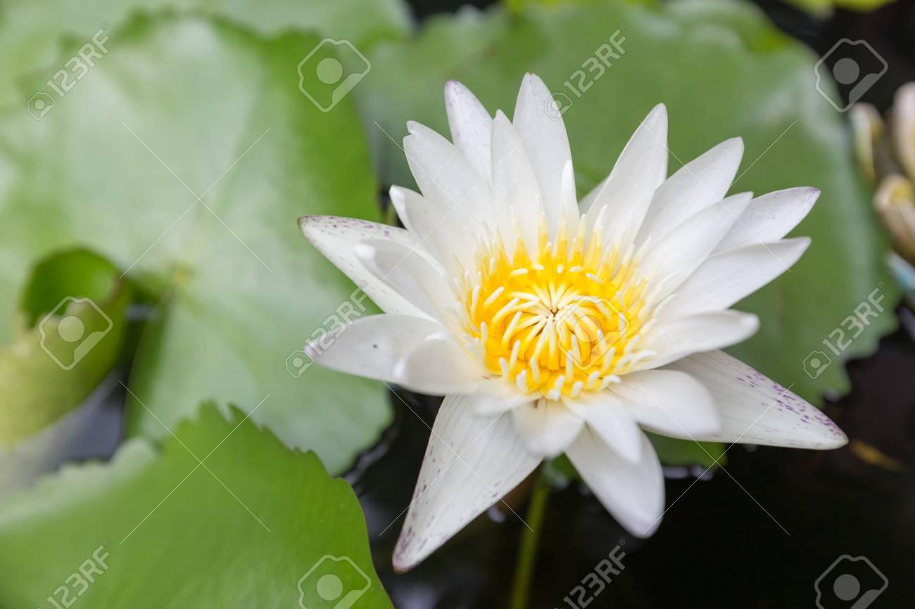 Beautiful lotus flower white lotus flower select focus blur stock beautiful lotus flower white lotus flower select focus blur or blurred soft focus lotus izmirmasajfo Images
