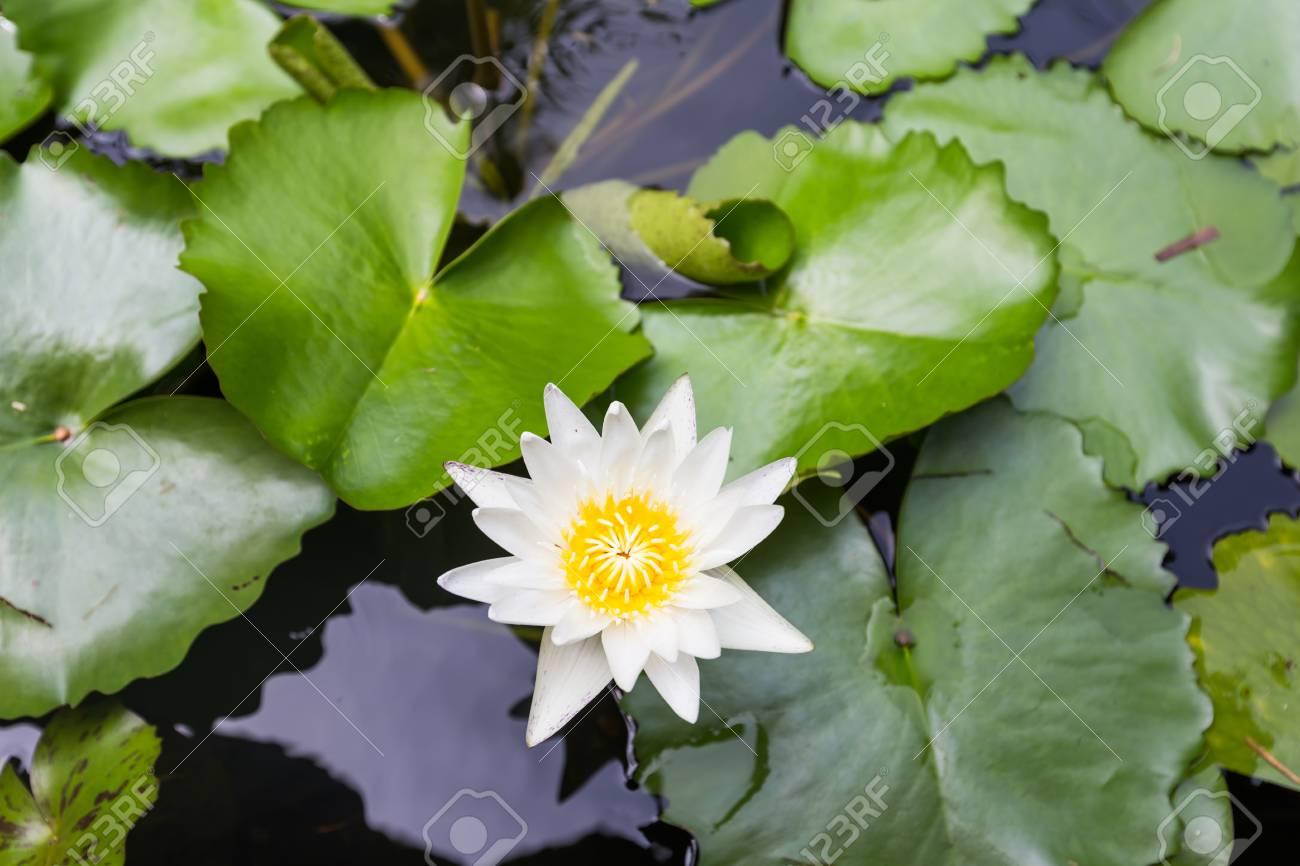 Beautiful Lotus Flower White Lotus Flower Select Focus Blur Stock