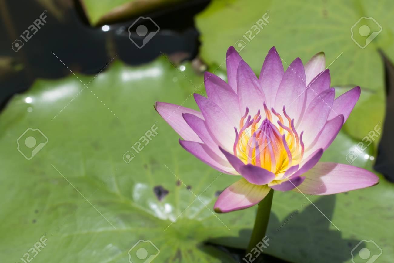 Beautiful lotus flower purple lotus flower select focus blur beautiful lotus flower purple lotus flower select focus blur or blurred soft focus lotus mightylinksfo