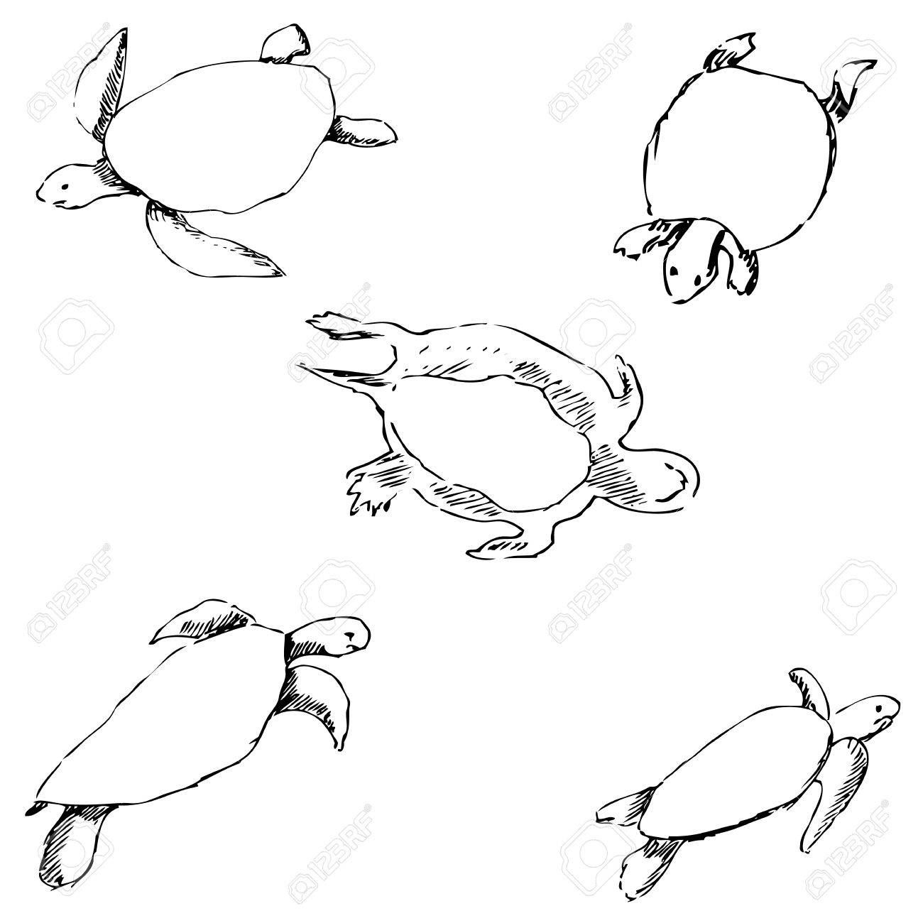 Turtles pencil sketch by hand vector image