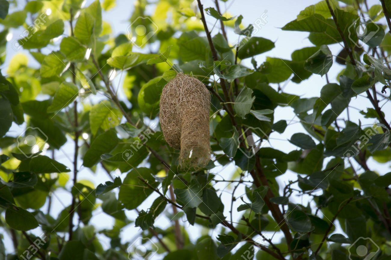 Weaver bird nest Stock Photo - 15109348