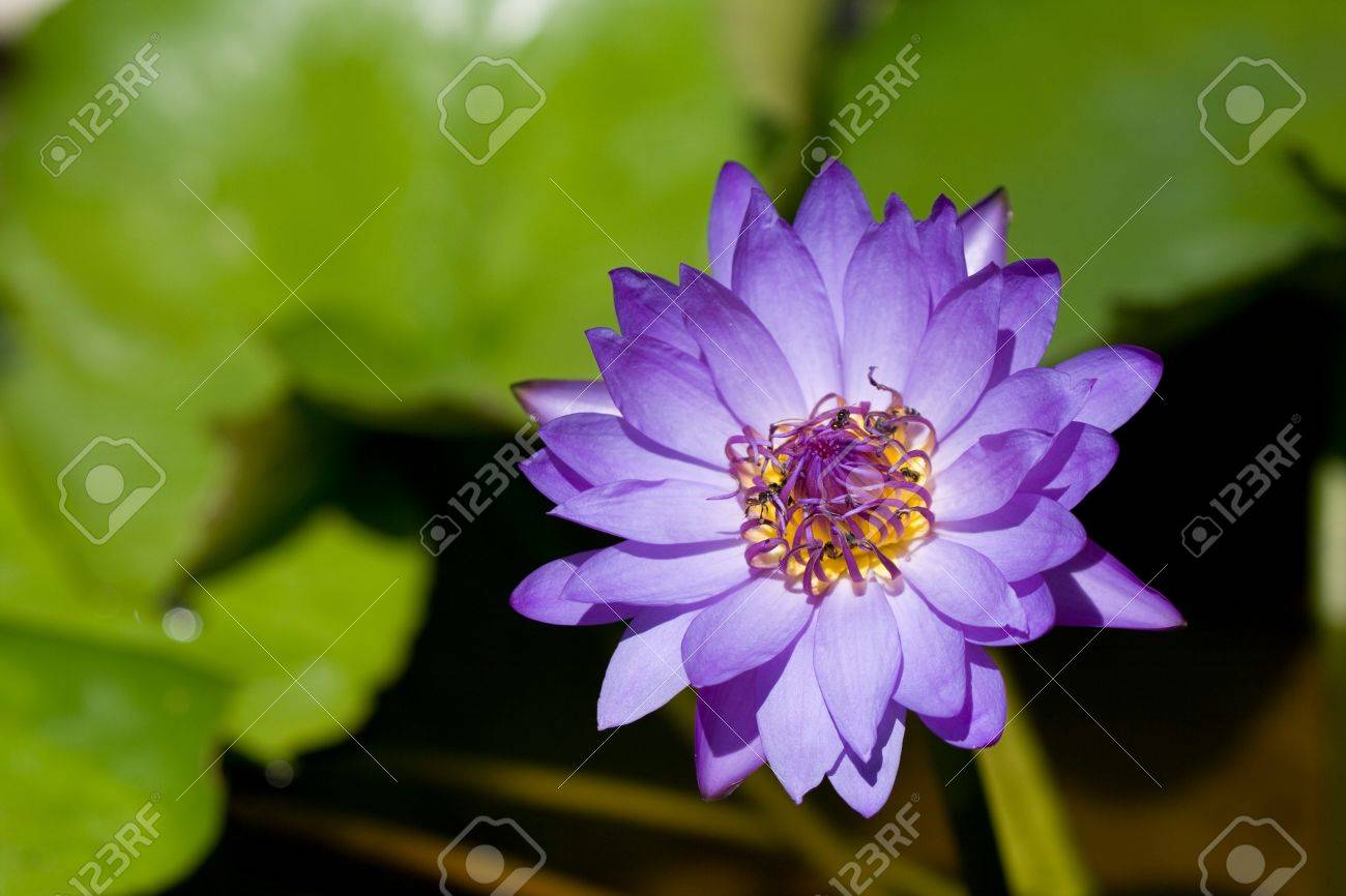 Violet Lotus on the River Stock Photo - 10015339