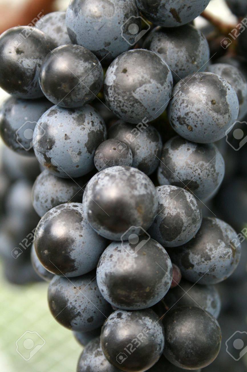 Syrah Grape bunch Stock Photo - 2523700