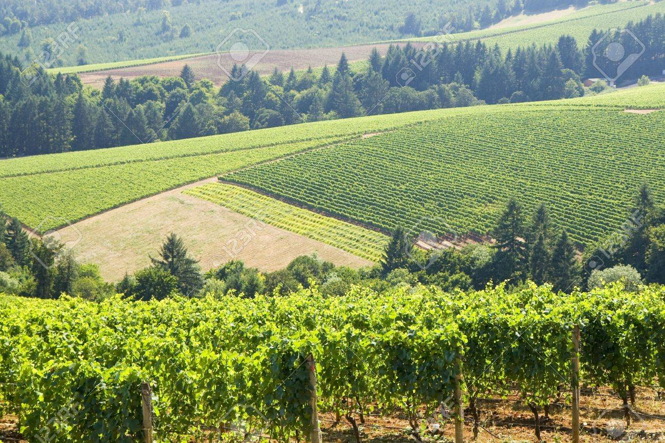 this is Vineyard patterns in the dundee hills Stock Photo - 3401797