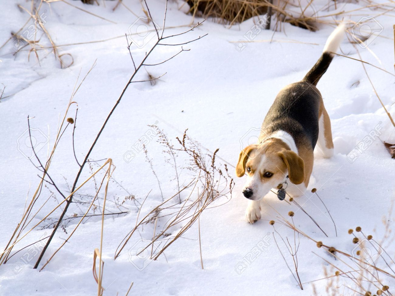 This is a Beagle Hunting a Rabbit in the snow Stock Photo - 4251429