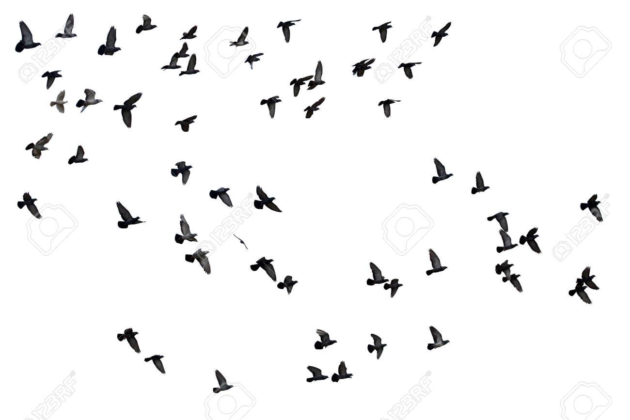 Flocks of flying pigeons isolated on white background. - 141751336