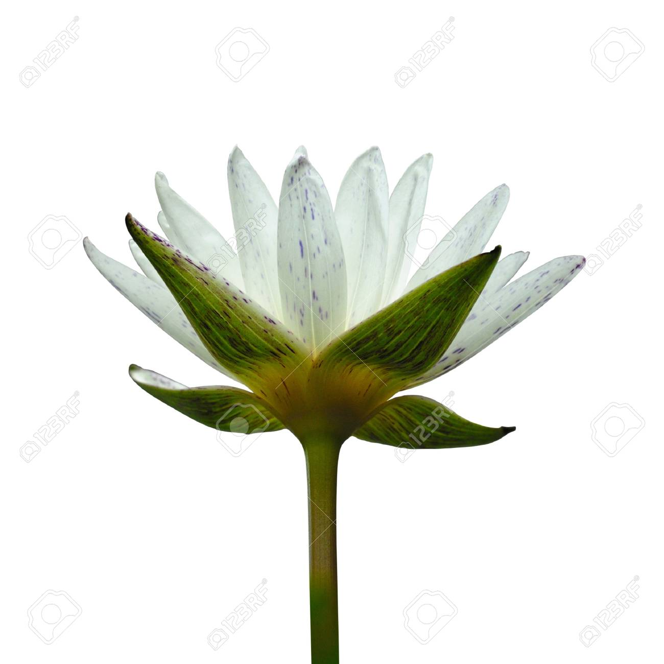 Lotus Flower Isolated On White Background Stock Photo Picture And