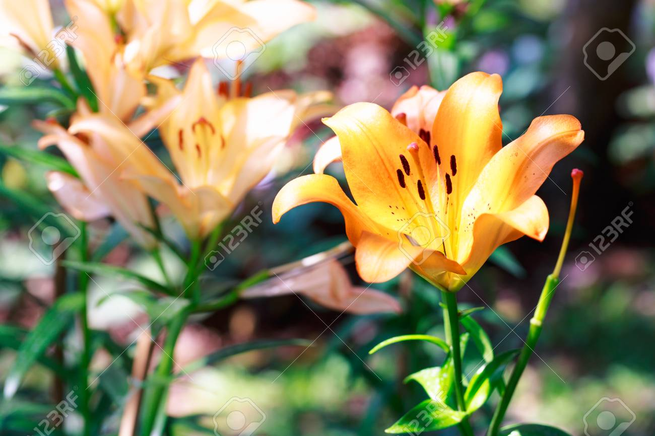 a34867e72a745 Orange Lilly In The Garden And Tone Color Stock Photo, Picture And ...