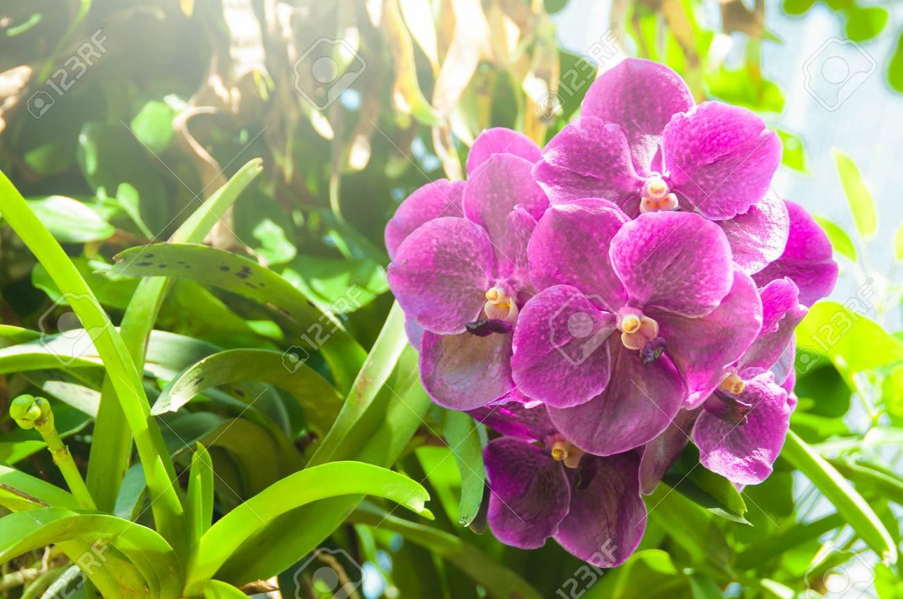 Molto Bellissime Orchidee Viola Bouquet Con Foglie Verdi Sfondo Della  NB82