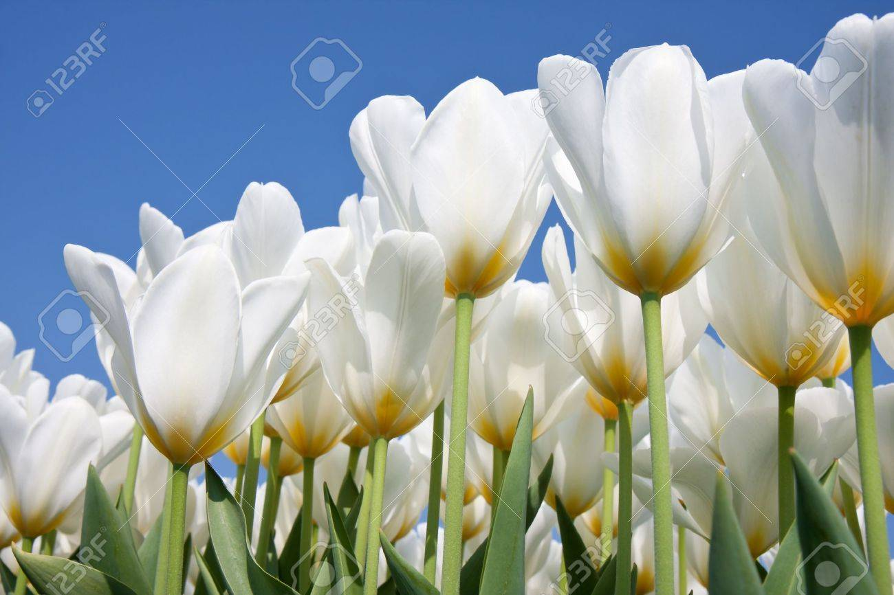 Beautiful white tulips looking to the blue sky - 9406257