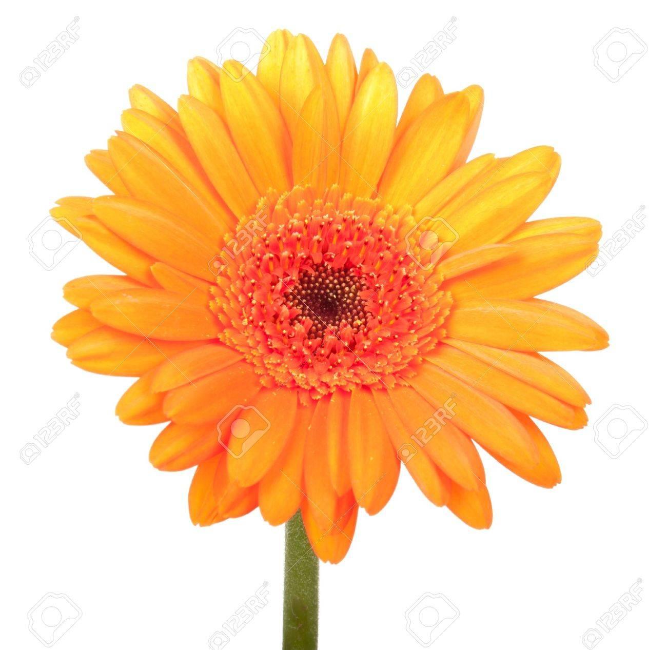 Beautiful orange gerbera, isolated on white - 10341531