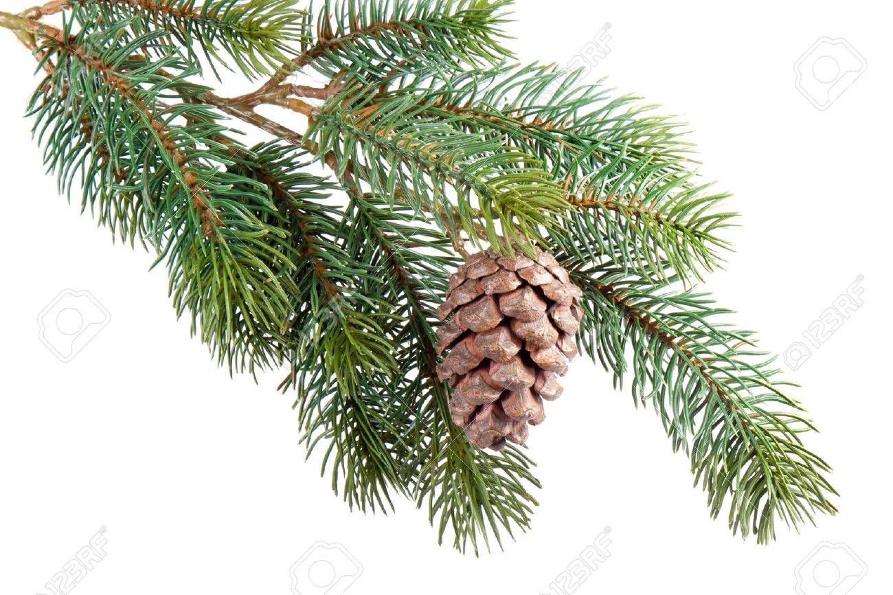 Fir branch with pine cone isolated on white - 11000010