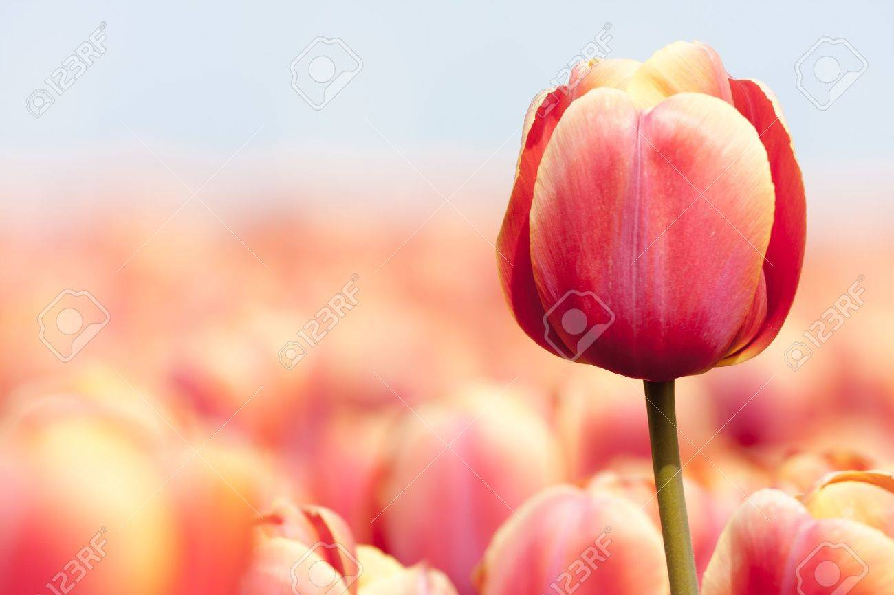 Pink tulip photographed with a selective focus and a shallow depth of field - 11713623