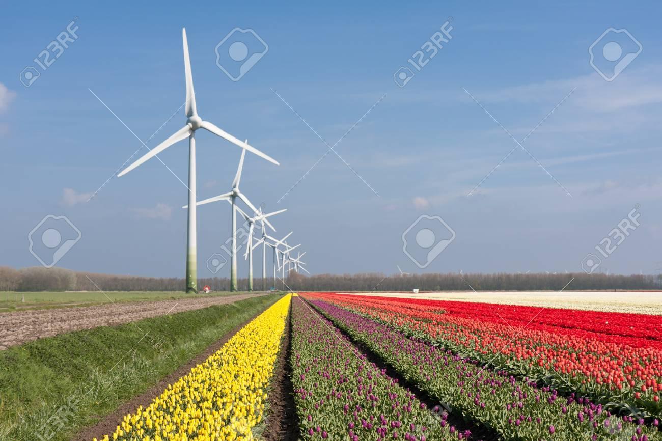 Big Dutch colorful tulip fields with windturbines Stock Photo - 13349944