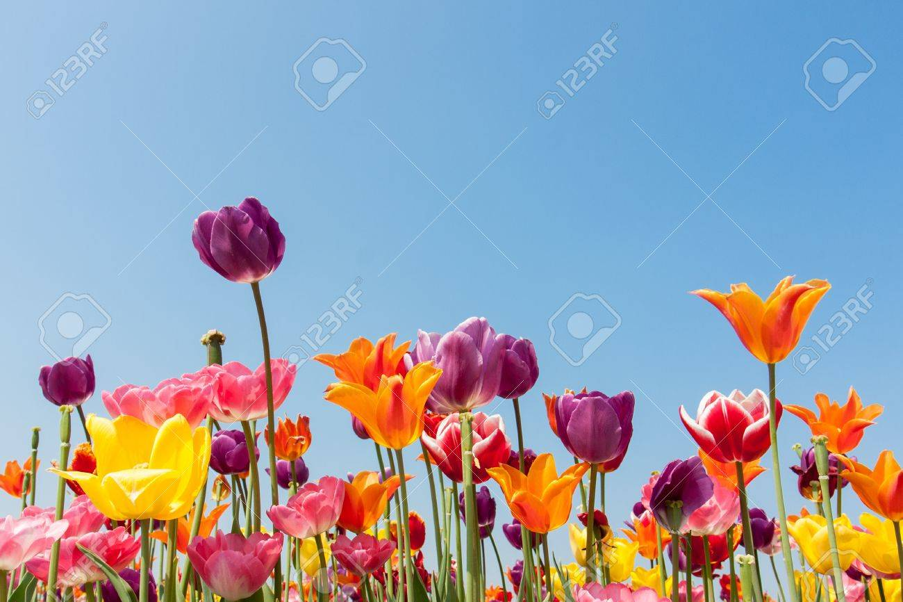 Amazing multicolored tulips against a blue sky Stock Photo - 14382830