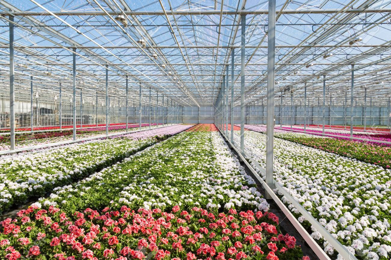 Greenhouse with colorful geranium plants - 18984947