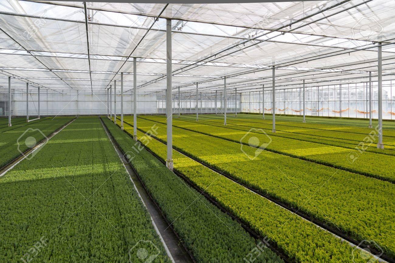 Cultivation of cupressus in a Dutch greenhouse - 18984945