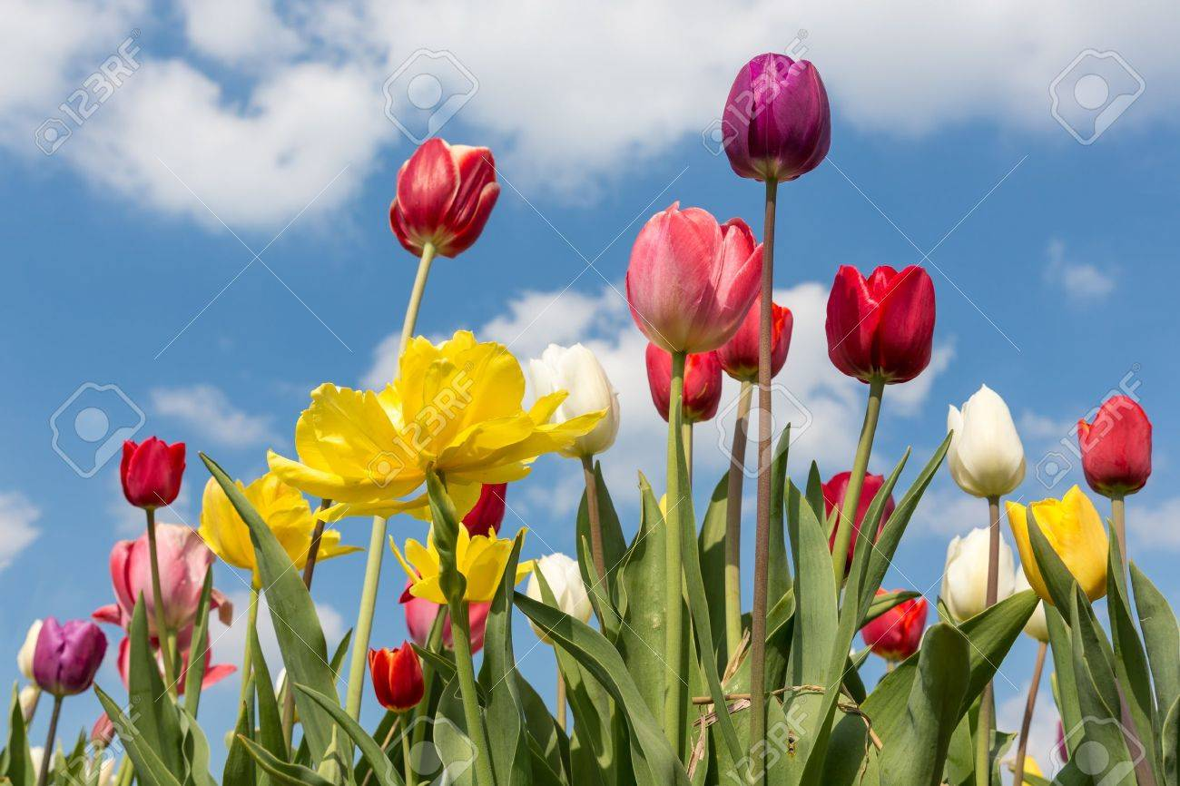 Beautiful colorful tulips against a blue sky with clouds - 19536117
