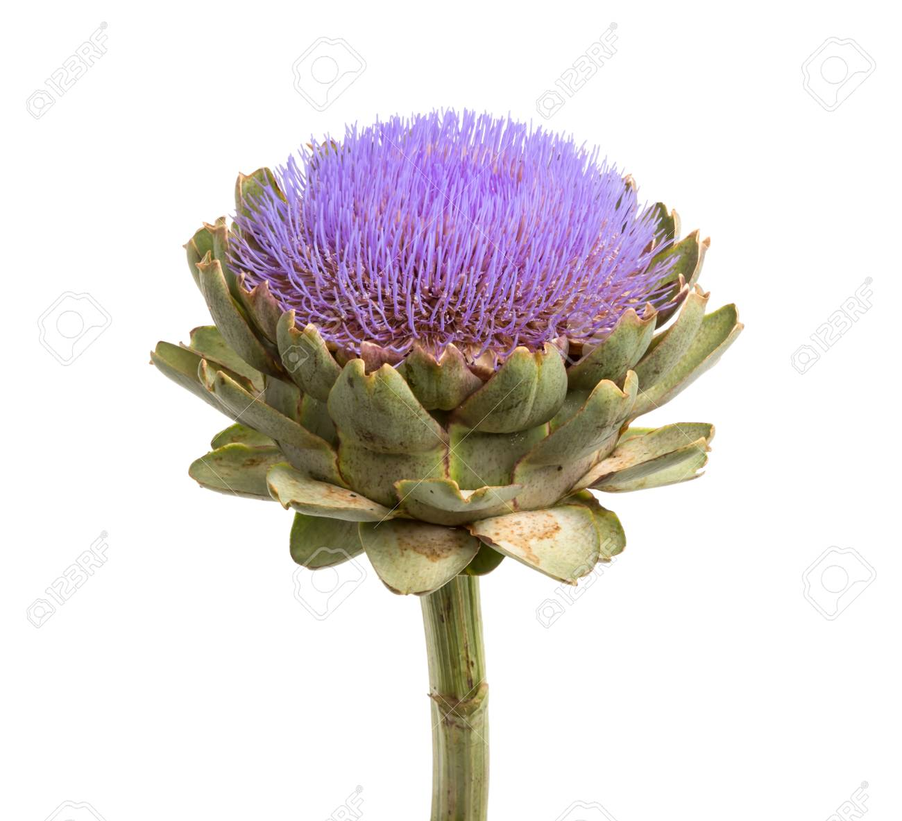 Isolated artichoke at white backgound - 22982181