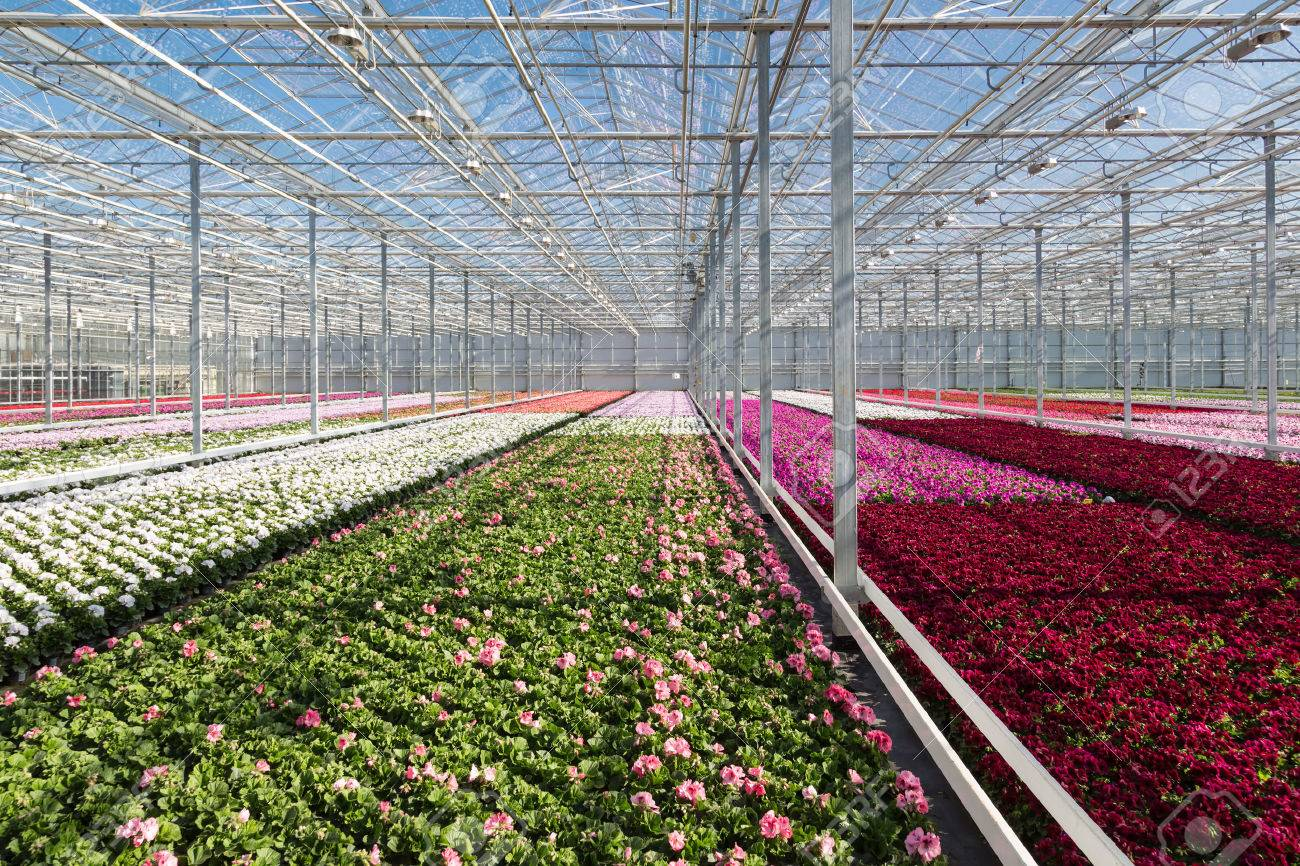 Colorful flowers in a big Dutch greenhouse - 24837499