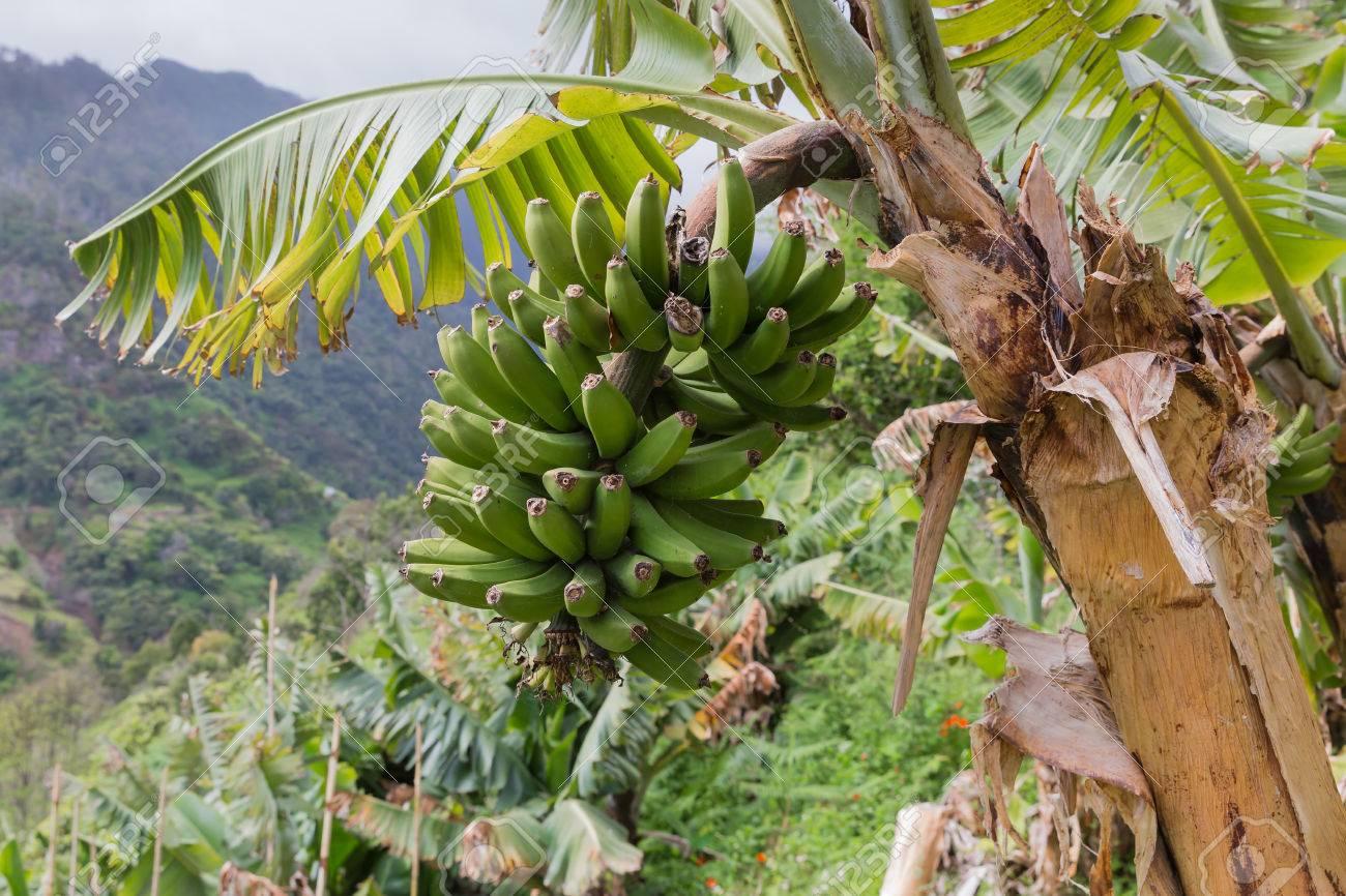 Banana tree at Madeira Island, Portugal - 28217273