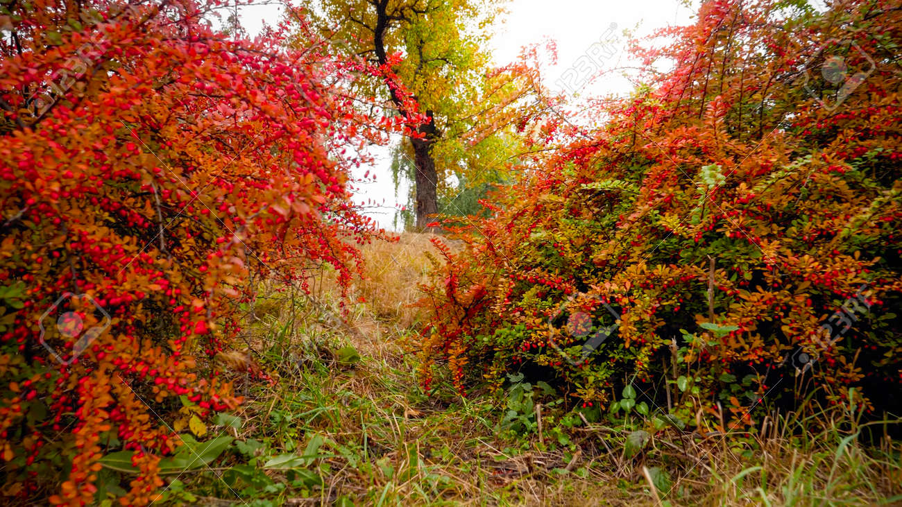 Beautfiul image of red and orange barberry bushes growing at autumn park - 148338193