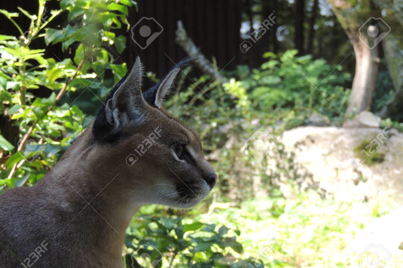 Caracal Known As The Desert Lynx Stock Photo Picture And Royalty