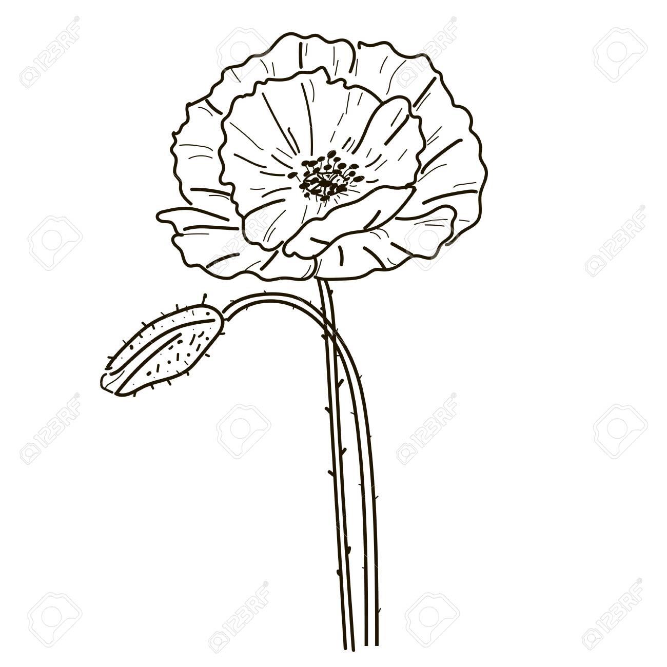 Poppy Wildflowers Line Art Flower Drawing Illustration Black On ...